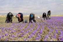 مدداستادان پژوهشکده زعفران دانشگاه تربت حیدریه به مددجویان زعفران خراسان  شمالی