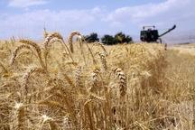سیل موجب کمبود گندم در کشور نخواهد شد