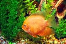 شهرک ماهیان زینتی طغرود امسال به بهره برداری می رسد