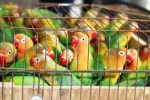 300 طوطی برزیلی قاچاق در همدان کشف شد