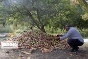 انباشت سیبهای در سبد درآمدی کشاورزان بروجردی