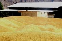 خرید تضمینی گندم در خوزستان به 934 هزار تن رسید