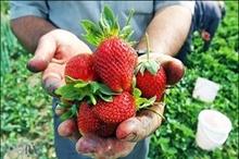 اشتغال 13 هزار بهره بردار کردستان در تولید توت فرنگی