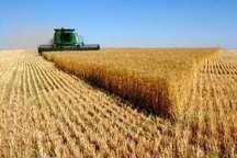 پیش بینی تولید بیش از ۷۰۰ هزار تن گندم در آذربایجان غربی