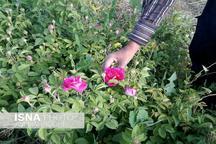 امسال 150 تن گل محمدی در خوی برداشت می شود