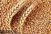 تولید ۵۱ هزارتن گندم در دلفان