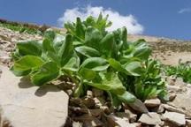 بخش دیشموک ظرفیت کشت 500 هکتار گیاه دارویی را دارد