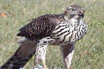 مشاهده پرنده حمایت شده «طرلان» در تالاب گندمان