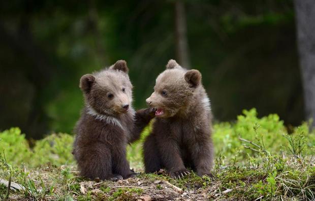 عکس روز نشنال جئوگرافیک؛ دو توله خرس بازیگوش