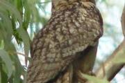 زادآوری پرنده شاه بوف در استان بوشهر به ثبت رسید