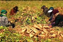 کشاورزان چغندرکار سلسله نیازمند حمایت مسئولان