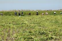 برداشت دانه روغنی کنجد در خنج 1200 تن برآورد شد