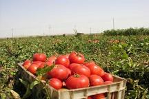 پیشبینی برداشت ۳۹۰۰ تن گوجه فرنگی در چهارمحال و بختیاری