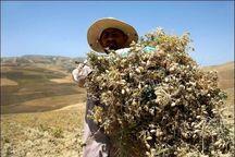 6 هزار تن نخود در کامیاران برداشت می شود