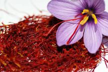 پیش بینی برداشت 500 تن زعفران از باغات خراسان رضوی    90 درصد صادرات زعفران از استان  انجام می شود