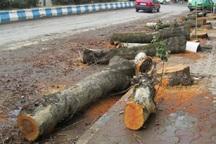 عاملان قطع درختان جاده قزوین - تاکستان دستگیر شدند