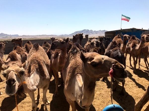 واردات شتر شیری از پاکستان به سیستان و بلوچستان