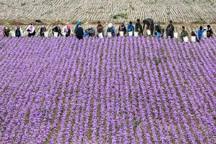 تولید زعفران در تربت حیدریه کاهش یافت
