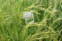 کنترل بیولوژیک آفت ساقه خوار برنج در لاهیجان اجرا شد