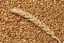 عرق کشاورز خشک نشده بهای خرید تضمینی گندم پرداخت شد