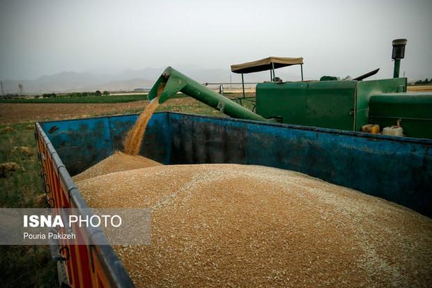 گندمکاران سمنانی امسال زودتر به پولشان رسیدند  خرید گندم در استان از مرز 61 هزار تن گذشت