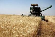 برداشت گندم در شهرستان اندیکا آغاز شد