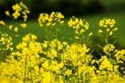 رئیس جهاد کشاورزی فارس: خودکفایی در تولید دانه های روغنی ضروری است