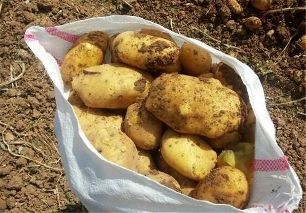 ممنوعیت صادرات سیب زمینی، خوراک دام و طیور و رب گوجه فرنگی
