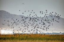 آغاز مهاجرت پرندگان به تالاب شادگان