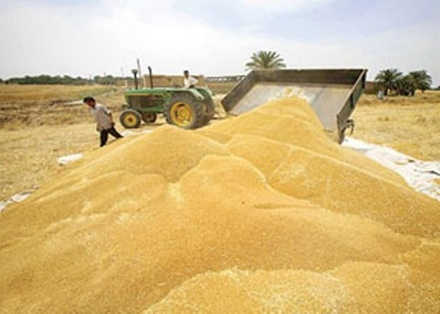 50 درصد مبلغ گندم خریداری شده کشاورزان سلطانیه ای پرداخت شد