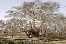 5 درخت کهنسال استان مرکزی ثبت ملی شد