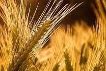 230 تن محصول جو در گچساران و باشت خرید تضمینی شد