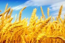 مهابادی ها 78 هزار تن گندم برداشت کردند