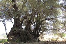 درخت زیتون ۴۵۰ ساله طارم در فهرست آثار ملی جای گرفت