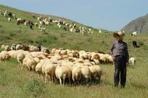 چرای دام در مراتع آذربایجان غربی ممنوع شد