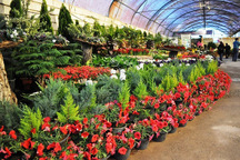 هفت میلیون دلار صادرات گل از محلات انجام شد