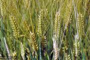 افزایش تولید محصولات کشاورزی پیامد بارندگیها در اصفهان