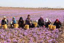 تعاون روستایی با پرداخت تسهیلات از زعفرانکاران حمایت میکند