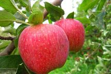 سمنان رتبه نخست تولید سیب درختی را به خود اختصاص داد