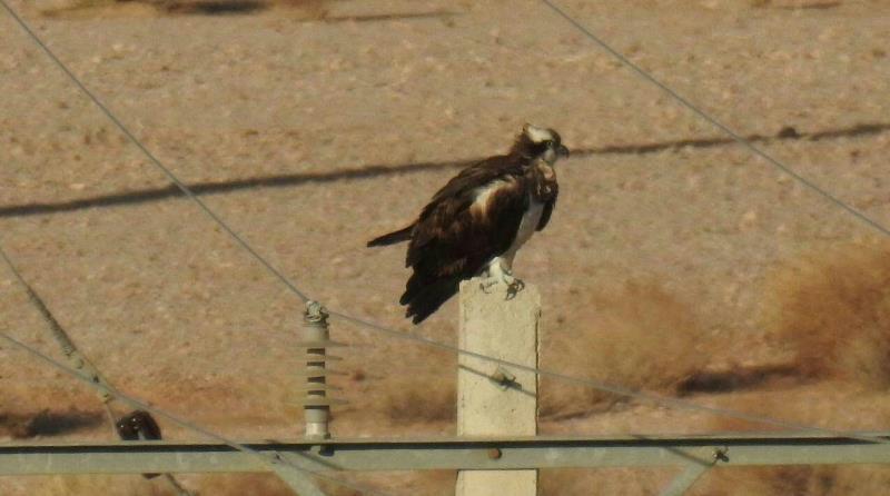 عقاب ماهیگیر در مهریز یزد مشاهده شد