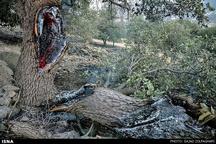 خاکسترشدن یکهزار و 296 هکتار از جنگلهای استان
