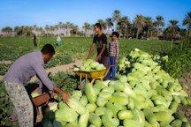 برداشت هندوانه از مزارع جنوب کرمان آغاز شد