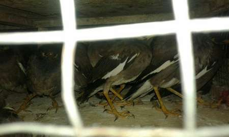 400 قطعه پرنده مینا قاچاق در زابل کشف شد