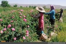 پیش بینی برداشت بیش از 200 تن گل محمدی در آذربایجان غربی