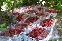 پیش بینی برداشت  14 هزار تن گیلاس و آلبالو از باغات استان اردبیل