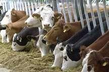 اصفهان، قطب تولید جنین منجمد گاو در کشور است