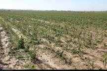 299هزار هکتار از زمین های کشت پاییزه خوزستان بیمه شدند