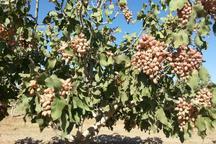 تولید پسته در زرندیه 10 هزار تن کاهش یافت