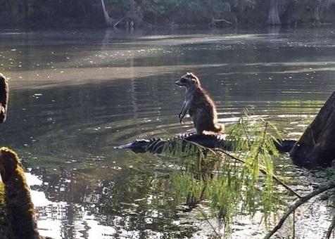 تمساح سواری یک راکون+ عکس