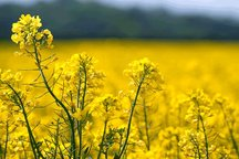 خرید تضمینی بیش از 8000 تن دانه روغنی کلزا در آذربایجان غربی